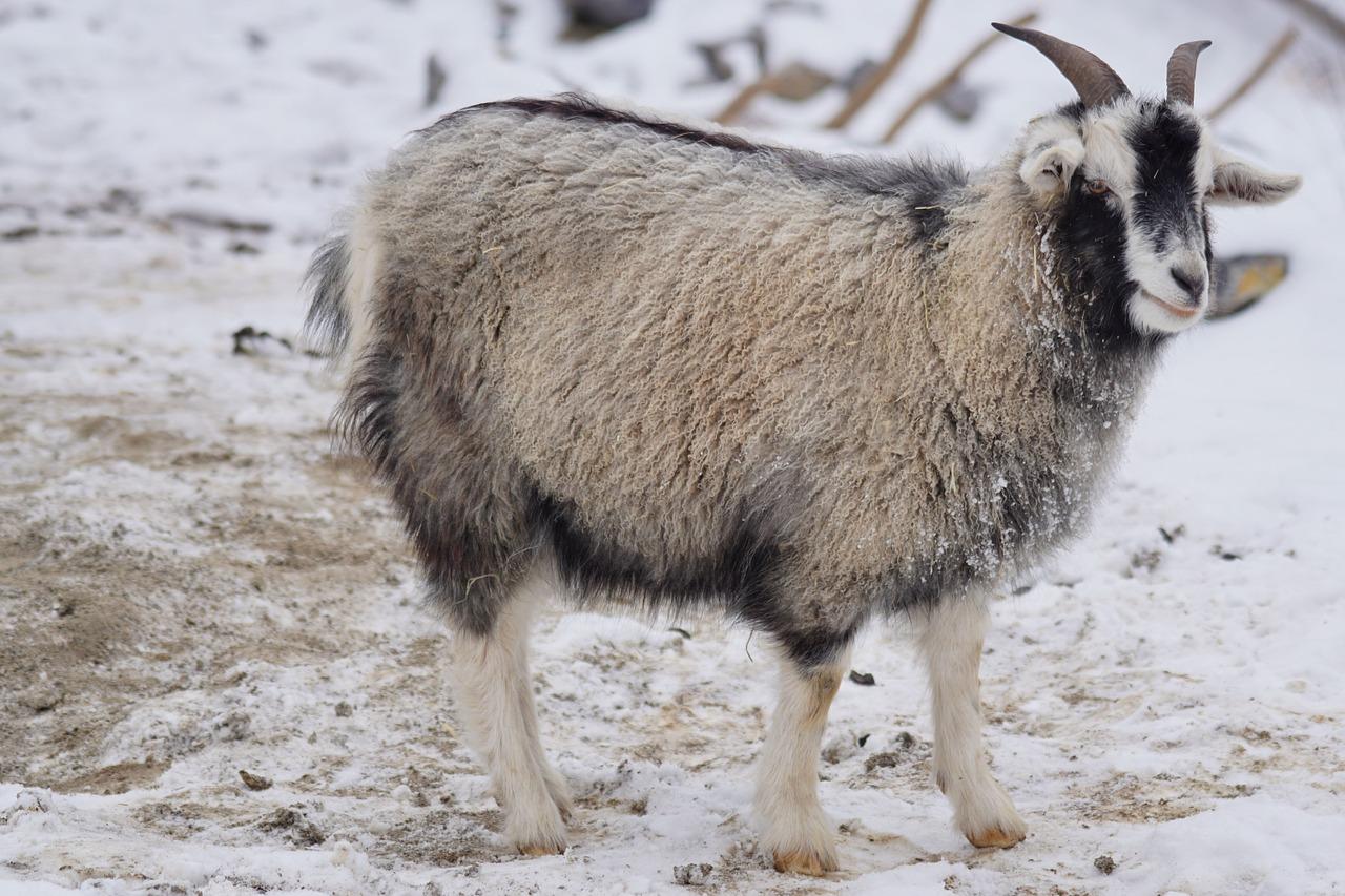 goat cashmere pashmina in Himalayas